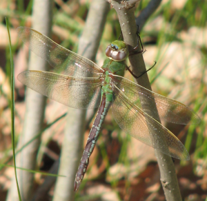 Dragonfly - Common Green Darner