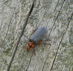 Soldier Beetle - Two-lined Leatherwing (Atalantycha bilineata)
