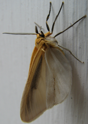 A yellow moth